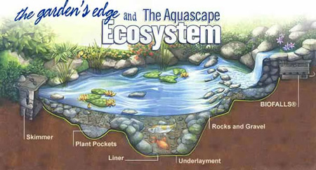 The garden 39 s edge the aquascape ecosystem for Garden pool ecosystem